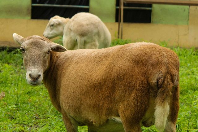 Meet our friendly sheep and goats - Animal Rescue Center Costa Rica